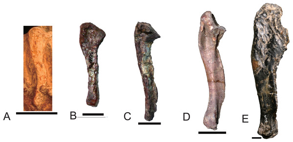 Right ulnae of traversodontids in lateral view.