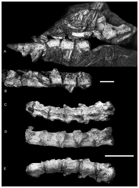 Boreogomphodon (NCSM 20698), anterior dorsal vertebrae and ribs.