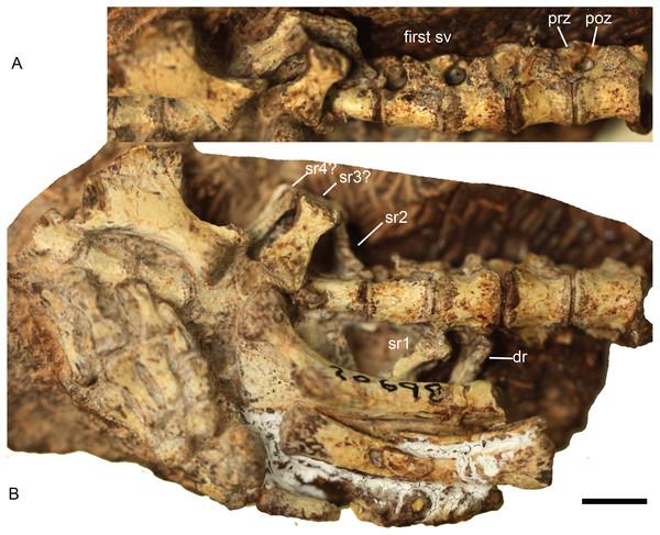 Boreogomphodon (NCSM 20698), posterior dorsal, sacral and anterior caudal vertebrae and ribs.