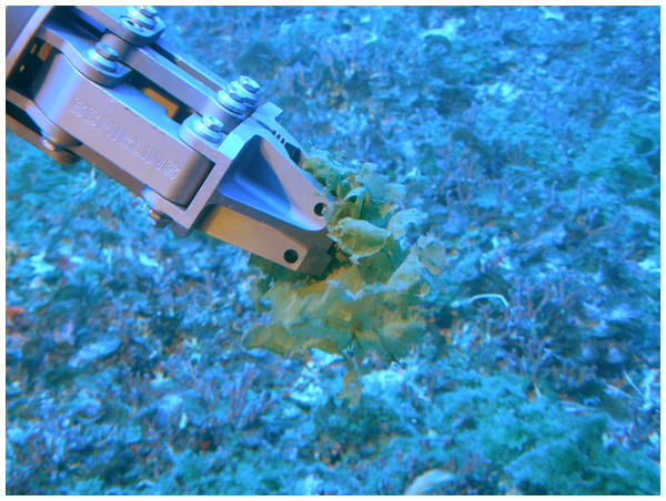 Manipulator arm of the Pisces V submersible collecting Microdictyon umbilicatum (Image credit: Hawaii Undersea Research Lab).
