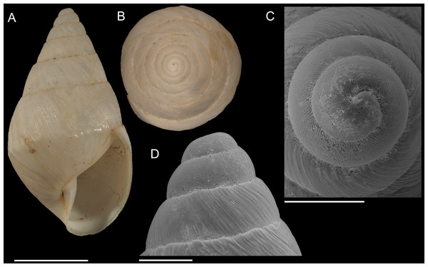 Scutalus chango n. sp. (A–D) paratype 4 SBMNH 460094, (A), apertural view, (B), apical view, (C), SEM side view of protoconch, (E), SEM apical view of protoconch.
