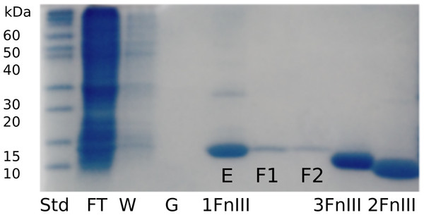 SDS-PAGE gel following purification and refolding of FLRT1-FnIII together with purified and concentrated FLRT2-FnIII and FLRT3-FnIII domains.