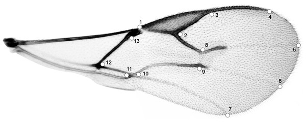 Right forewing of Aphidius ervi; set of 13 specific landmarks.