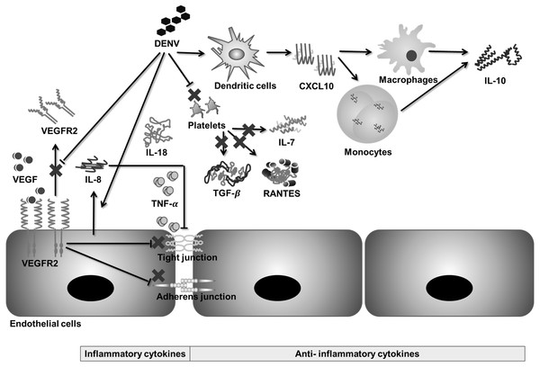 Hypothetical pathway for immunopathogenesis of dengue infection.