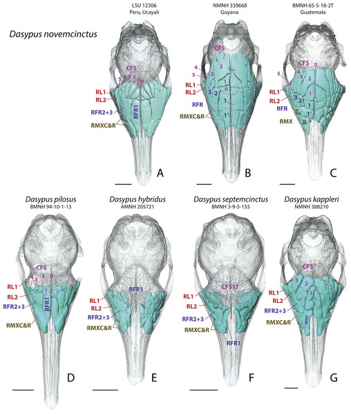 Dorsal views of virtually reconstructed Dasypus skulls with internal paranasal sinuses.