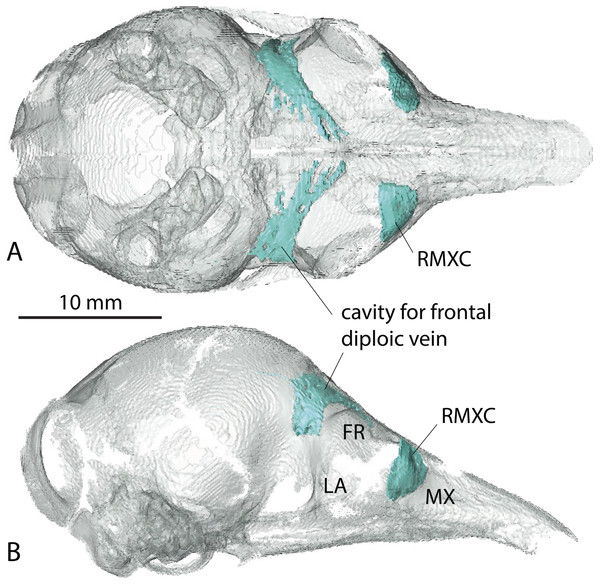Virtual reconstruction of the skull of the stillborn specimen AMNH 33150, Dasypus novemcinctus, with bone transparency leaving the caudal maxillary recess and cavity for the frontal diploic vein apparent.