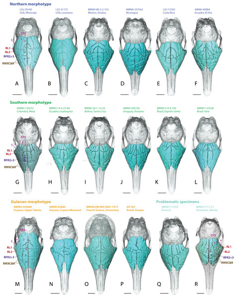 Dorsal views of virtually reconstructed skulls of adult specimens of Dasypus novemcinctus clustered by morphotypes of paranasal anatomy as described in the text.