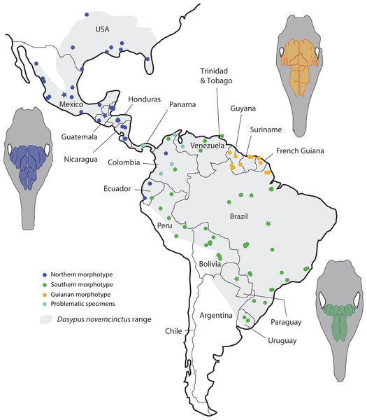Summary map showing the geographical distribution of nine-banded armadillo specimens (Dasypus novemcinctus) investigated in this study and their attribution to a paranasal morphotype.