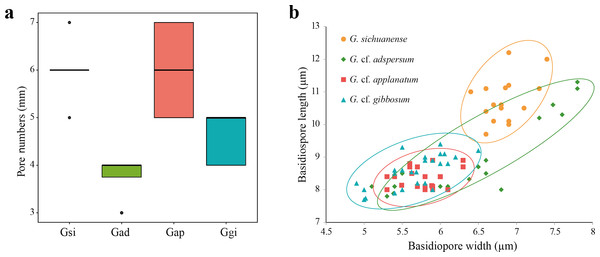 (A) Box plot representing pore number per mm of four Ganoderma species: G. sichuanense (Gsi), G. cf. adspersum (Gad), G. cf. applanatum (Gap), and G. cf. gibbosum (Ggi). Boxes represent the interquartile range between first quartile and third quartile. Bold line in the box is the median and filled circles represent individual outlying data points. (B) Scatter plot of basidiospore size among the four species (mm).