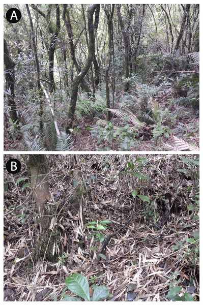 View of the vegetation (A) and the forest floor (B) in the type locality of Brachycephalus curupira, at 1,160 m a.s.l.