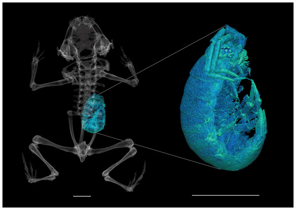 High-resolution CT scan of paratype of Brachycephalus curupira (MHNCI 10285) revealing a single isopod (enlarged at right) in the stomach.