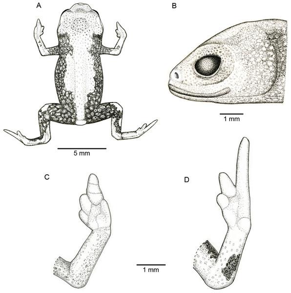 Holotype of Brachycephaluscoloratus (MHNCI 10273).
