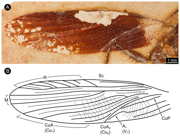 Details of wing of specimen MB.I.2068.