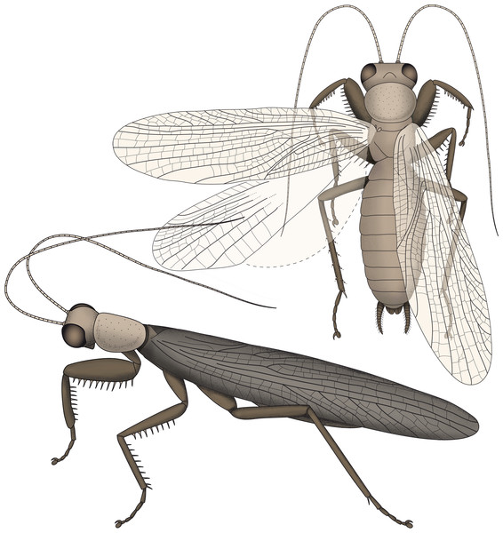 Restorations of Santanmantis axelrodi based on Hörnig, Haug & Haug (2013), amended by the newly discovered details.