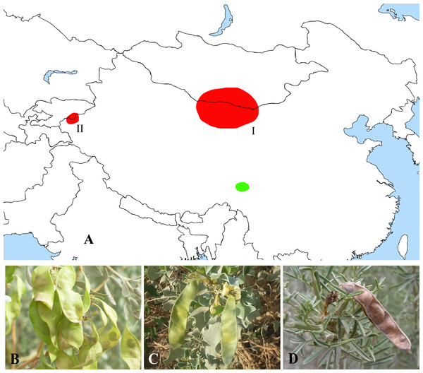 Distribution (A) and representative plants of Ammopiptanthus (B & C) and Salweenia (D).
