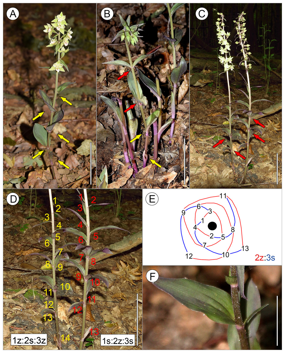 Leaf Arrangements Are Invalid In The Taxonomy Of Orchid