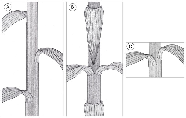 Graphic representation of leaf arrangements observed in E. purpurata shoots (drawn by Z. Łobas).