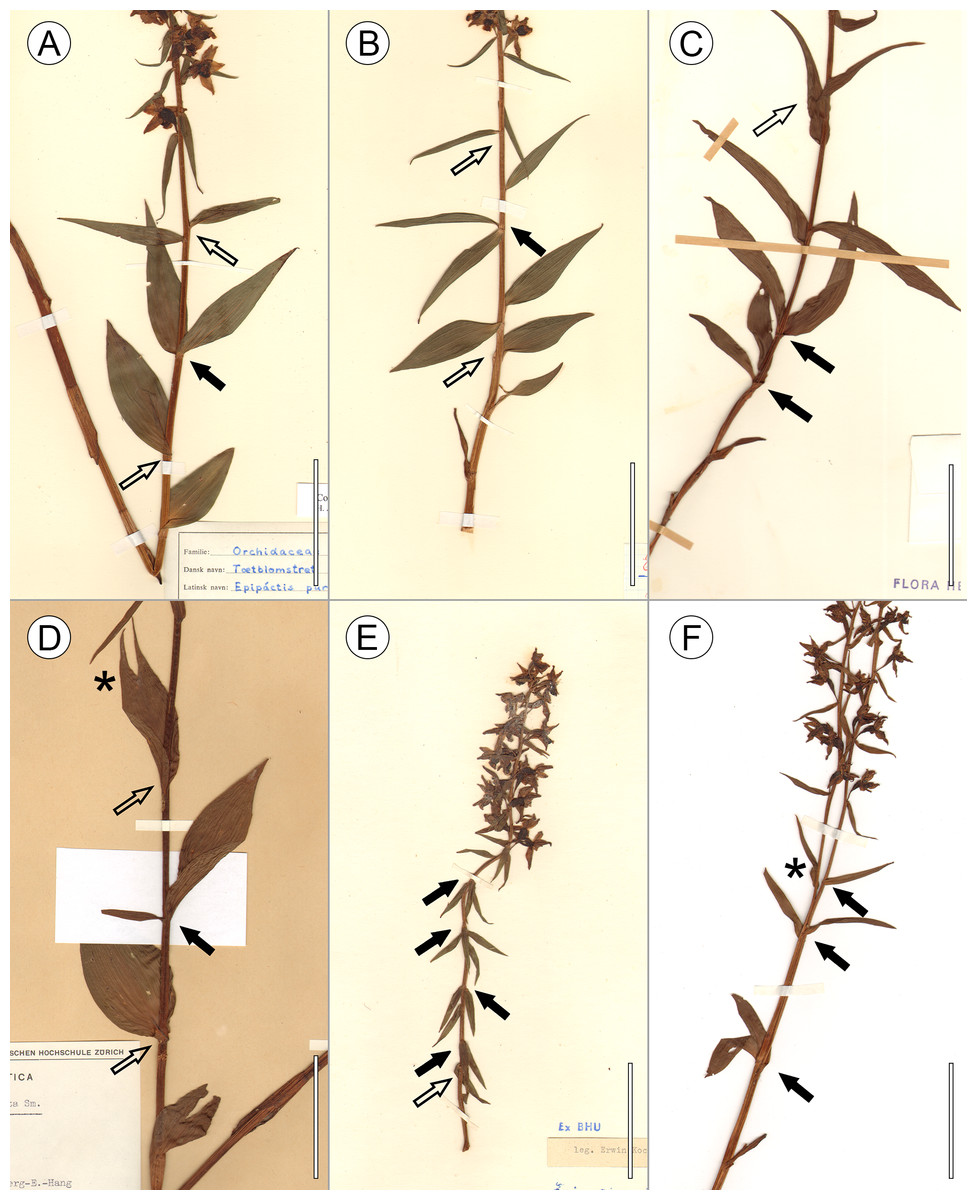 Leaf arrangements are invalid in the taxonomy of orchid species voucher specimens of e purpurata presenting a number of exemplary abnormalities in leaf arrangement and sciox Gallery