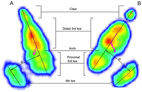 Typical Footscan images of plantar surface of the foot in running on loose sand (A) and solid ground (B).