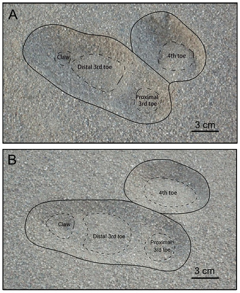 Footprints of ostrich right foot when (A) running and (B) walking on loose sand.