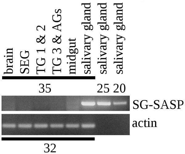 RT-PCR of the salivary gland peptide.