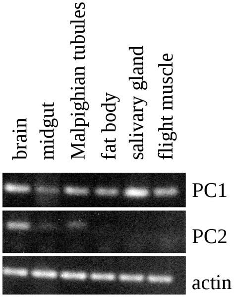 RT-PCR of PC1 and PC2.