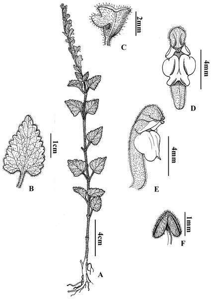 Diagnostic morphologcial features of Scutellaria wuana C. L. Xiang & F. Zhao (C.L. Xiang 1200) (Holotype).