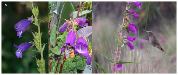 Morphology and floral visitors of Penstemon gentianoides (Kunth) Poir. at La Malinche National Park, Tlaxcala, Mexico.