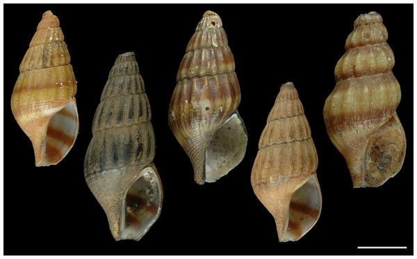 Paralectotypes of Melania helena von dem Busch, 1847.