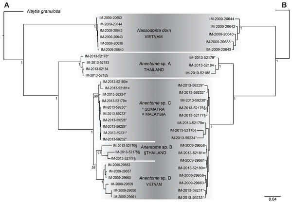 Bayesian phylograms based on separate analyses of the mitochondrial and nuclear gene datasets.