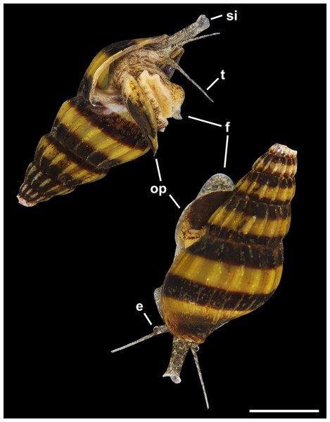 Living animal of Anentome sp. A. Apertural and abapertural views.