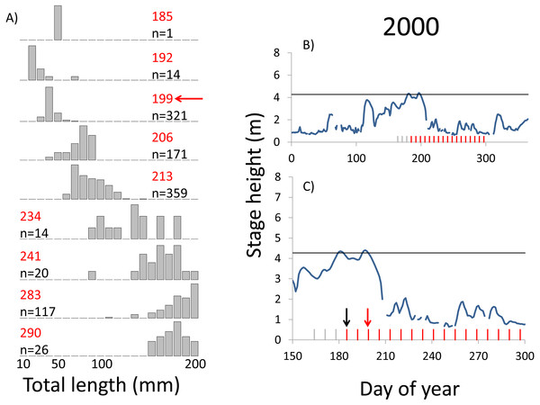 Hydrographs of the Illinois River in 2000 and histograms depicting the size distribution of age-0 bigheaded carp captured in different weeks (A). The ticks on the x-axis of the hydrographs represent weeks in which LTRM sampling was conducted. Stage height over the entire year is depicted in the top hydrograph (B), and the bottom hydrograph (C) focuses on the period of fish sampling.