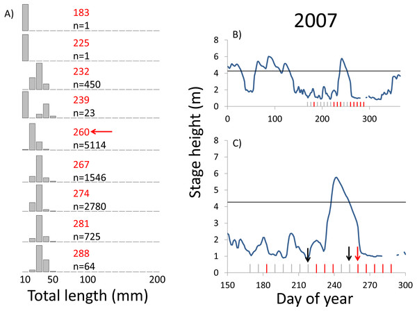 Hydrographs of the Illinois River in 2007 and histograms depicting the size distribution of age-0 bigheaded carp captured in different weeks (A). The ticks on the x-axis of the hydrographs represent weeks in which LTRM sampling was conducted. Stage height over the entire year is depicted in the top hydrograph (B), and the bottom hydrograph (C) focuses on the period of fish sampling.