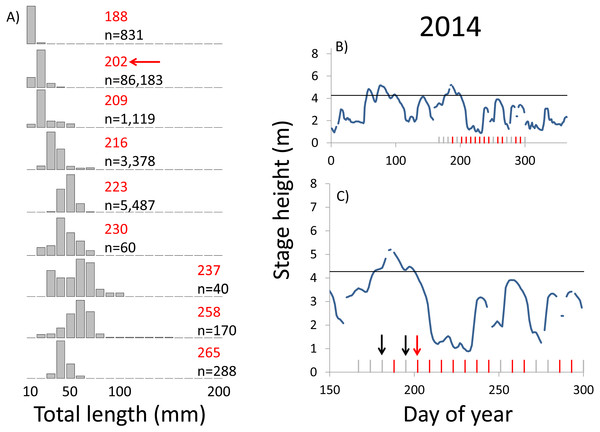 Hydrographs of the Illinois River in 2014 and histograms depicting the size distribution of age-0 bigheaded carp captured in different weeks (A). The ticks on the x-axis of the hydrographs represent weeks in which LTRM sampling was conducted. Stage height over the entire year is depicted in the top hydrograph (B), and the bottom hydrograph (C) focuses on the period of fish sampling.