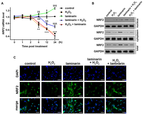 Expression change of nuclear factor erythroid 2 like 2 (NRF2) induced by hydrogen peroxide (H2O2) and laminarin in MRC-5 cells.