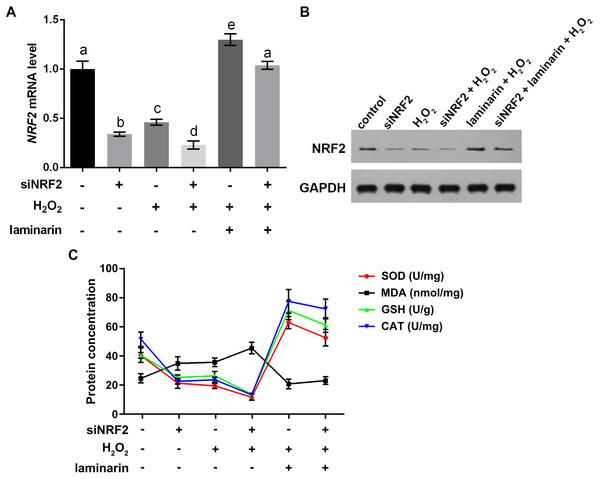 Nuclear factor erythroid 2 like 2 (NRF2) regulates oxidative damage in MRC-5 cells.