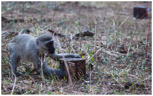 Vervet monkey accessing one of several available apparatuses at Inkawu Vervet Project, South Africa.