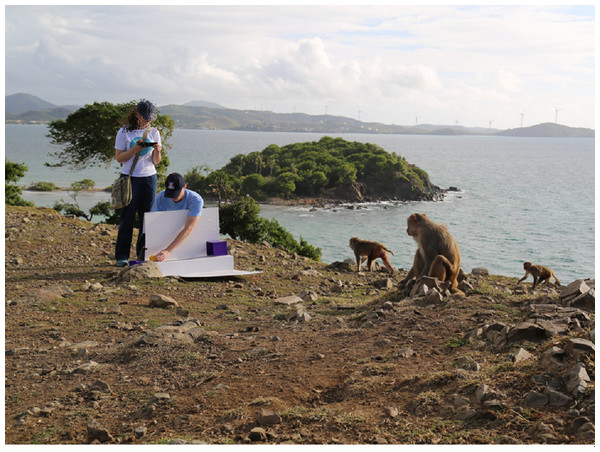 A portable experimental setup for testing rhesus macaque cognition at the Cayo Santiago Field Station, Puerto Rico.