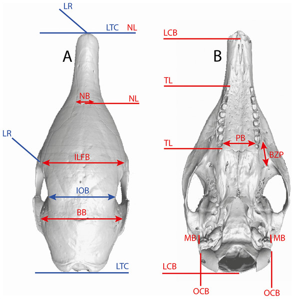 Illustration of the skull linear measurements.