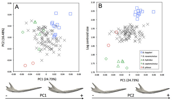 (A) Principal component analysis (PC1 vs PC2) and associated patterns of morphological transformation for the mandible of five Dasypus species. (B) Regression of the first principal component on the logarithm of the centroid size (R2 = 0.23; p < 0.001).