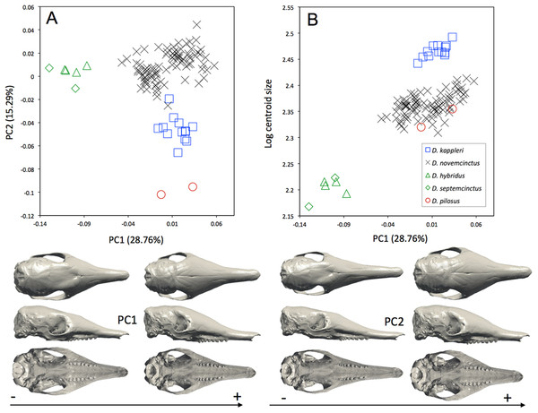 (A) Principal component analysis (PC1 vs PC2) and associated patterns of morphological transformation for crania of five Dasypus species. (B) Regression of the first principal component on the logarithm of the centroid size (R2 = 0.50; p < 0.001).