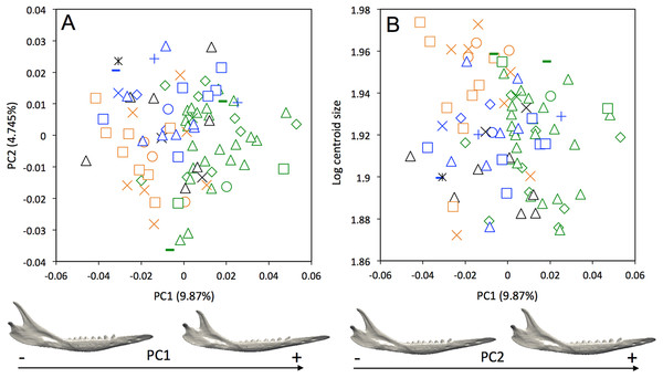 (A) Principal component analysis (PC1 vs PC2) and associated patterns of morphological transformation for mandibles of Dasypus novemcinctus. (B) Regression of the first principal component on the logarithm of the centroid size (R2 = 0.035; p = 0.03).