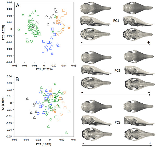 Principal component analysis (A, PC1 vs PC2; B, PC3 vs PC4) and associate patterns of morphological transformation for crania of Dasypus novemcinctus.