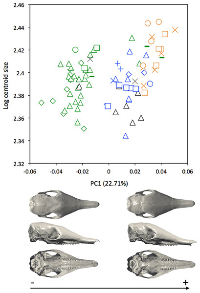 Regression of the first cranial principal component (Dasypus novemcinctus) on the logarithm of the centroid size (R2 = 0.15; p < 0.001).
