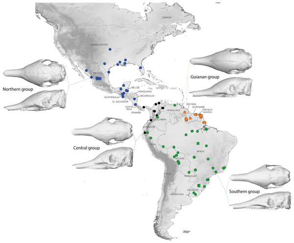 Summary map showing the geographical distribution of nine-banded armadillo specimens investigated in this study and their attribution to one of the four main morphotypes defined in this study: black, Central group; blue, Northern group; green, Southern group; orange, Guianan group.