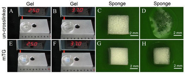 Appearance of gelatin gel and sponge.