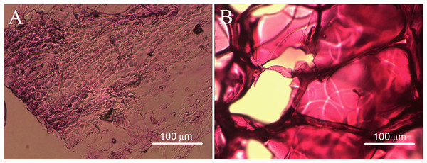 Histological observations of the gelatin sponges after one month of subcutaneous implantation in rats.