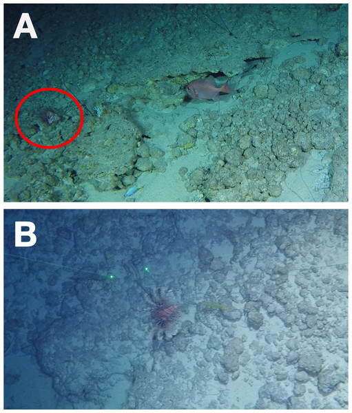 Lionfish at 297 m depth off the northeastern slope of the Bermuda platform.