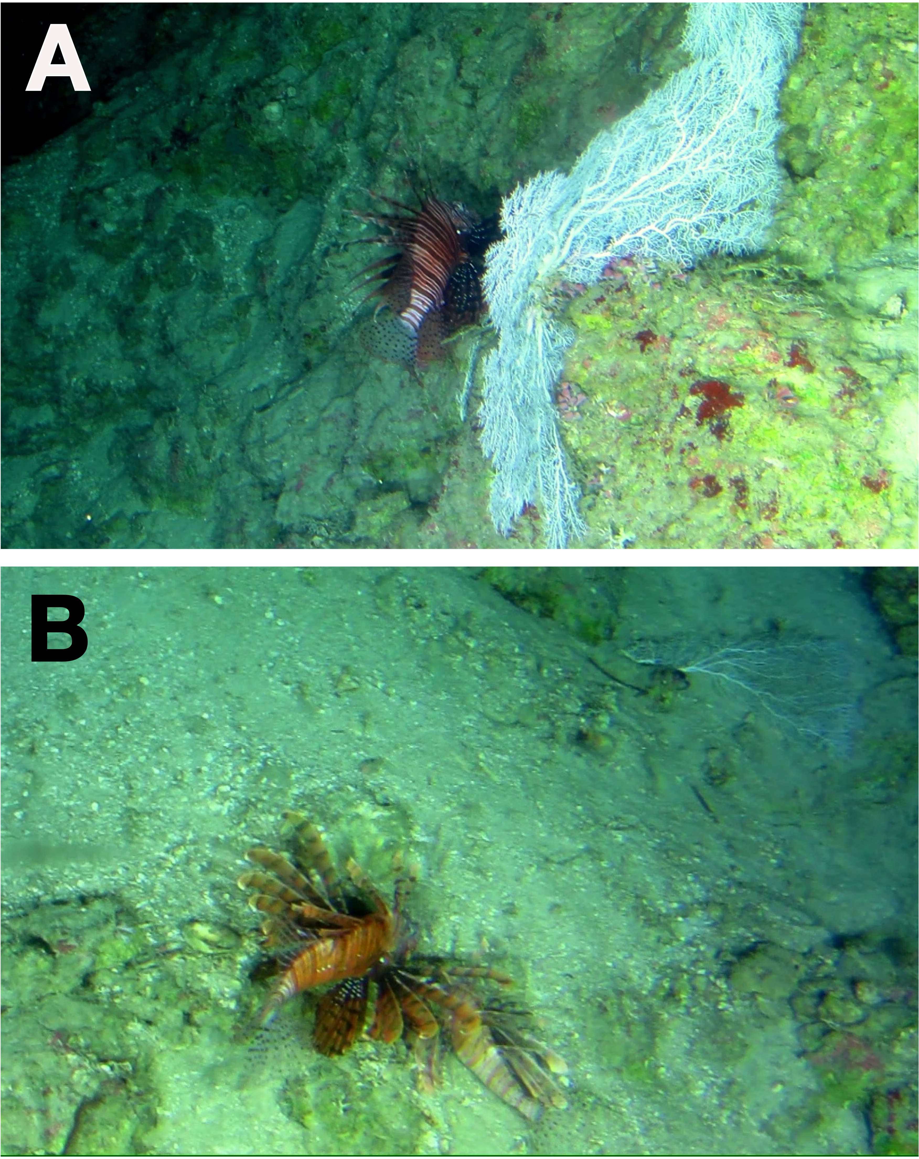 Lionfish (Pterois spp ) invade the upper-bathyal zone in the
