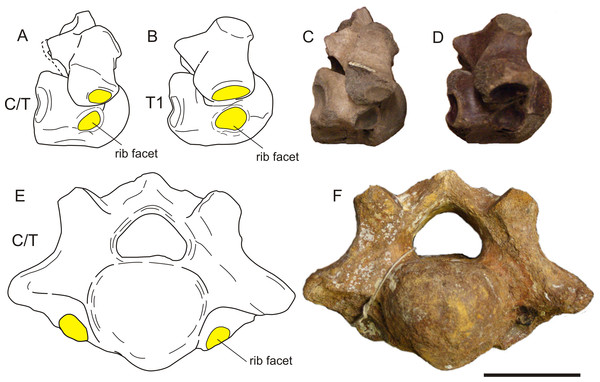 Two cervico-thoracic vertebrae of the woolly rhinoceros with small rib facets.